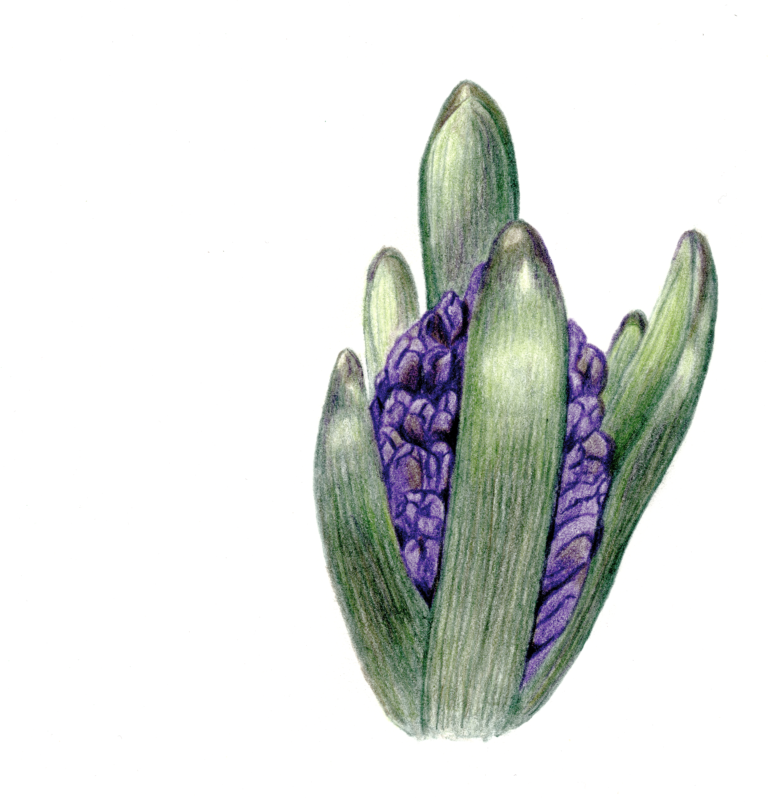 032518 Blue Hyacinth_cc